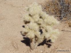 Siauralapių jukų nacionalinis parkas. Mohavių dykuma. Lazduvis (Cylindropuntia echinocarpa)