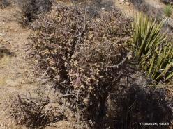 Siauralapių jukų nacionalinis parkas. Mohavių dykuma. Lazduvis (Cylindropuntia ramosissima) (2)