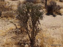 Siauralapių jukų nacionalinis parkas. Mohavių dykuma. Lazduvis (Cylindropuntia ramosissima) (5)