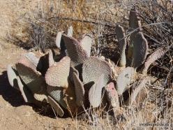 Siauralapių jukų nacionalinis parkas. Mohavių dykuma. Padrikoji opuncija (Opuntia basilaris) (5)