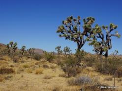 Siauralapių jukų nacionalinis parkas. Mohavių dykuma. Trumpalapė juka (Yucca brevifolia) (12)