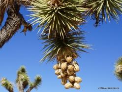 Siauralapių jukų nacionalinis parkas. Mohavių dykuma. Trumpalapė juka (Yucca brevifolia) (13)