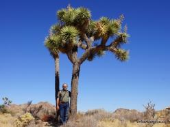 Siauralapių jukų nacionalinis parkas. Mohavių dykuma. Trumpalapė juka (Yucca brevifolia) (14)