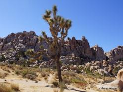 Siauralapių jukų nacionalinis parkas. Mohavių dykuma. Trumpalapė juka (Yucca brevifolia) (16)