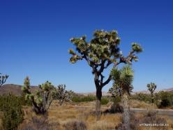 Siauralapių jukų nacionalinis parkas. Mohavių dykuma. Trumpalapė juka (Yucca brevifolia) (19)