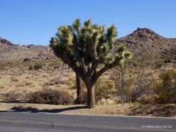Siauralapių jukų nacionalinis parkas. Mohavių dykuma. Trumpalapė juka (Yucca brevifolia) (2)