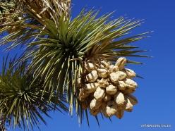Siauralapių jukų nacionalinis parkas. Mohavių dykuma. Trumpalapė juka (Yucca brevifolia) (23)