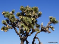 Siauralapių jukų nacionalinis parkas. Mohavių dykuma. Trumpalapė juka (Yucca brevifolia) (24)