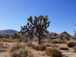 Siauralapių jukų nacionalinis parkas. Mohavių dykuma. Trumpalapė juka (Yucca brevifolia) (4)