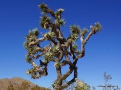 Siauralapių jukų nacionalinis parkas. Mohavių dykuma. Trumpalapė juka (Yucca brevifolia) (5)