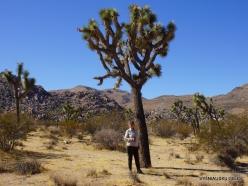Siauralapių jukų nacionalinis parkas. Mohavių dykuma. Trumpalapė juka (Yucca brevifolia) (6)