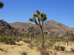Siauralapių jukų nacionalinis parkas. Mohavių dykuma. Trumpalapė juka (Yucca brevifolia) (8)
