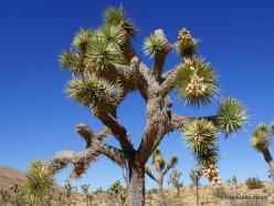 Siauralapių jukų nacionalinis parkas. Mohavių dykuma. Trumpalapė juka (Yucca brevifolia) (9)