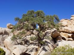 Siauralapių jukų nacionalinis parkas. Mohavių dykuma. Vienaspyglė pušis (Pinus monophylla) (2)