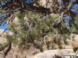 Siauralapių jukų nacionalinis parkas. Mohavių dykuma. Vienaspyglė pušis (Pinus monophylla)