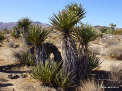 Siauralapių jukų nacionalinis parkas. Mohavių dykuma. Yucca schidigera (2)