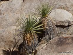 Siauralapių jukų nacionalinis parkas. Mohavių dykuma. Yucca schidigera (6)