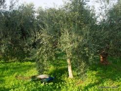 Capernaum. Olive tree (Olea europaea) (2)