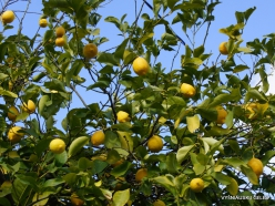 Jerusalem. Lemon tree (Citrus limon) (2)