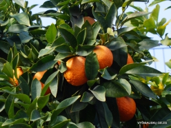 Jerusalem. Orange tree (Citrus x sinensis)