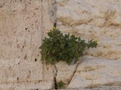 Jerusalem. Western Wall. Golden Henbane (Hyoscyamus aureus) (2)