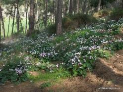 Near Gal'ed. Giv'at HaRakafot. Persian Cyclamen (Cyclamen persicum) (4)
