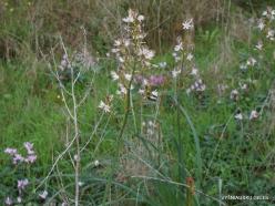 Near Kiryat Ye'arim. Common Asphodel (Asphodelus aestivus) (3)