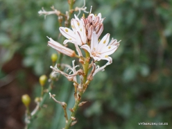 Near Kiryat Ye'arim. Common Asphodel (Asphodelus aestivus)