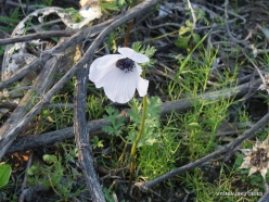 Near Megiddo. Color variations of Crown Anemone (Anemone coronaria) (16)