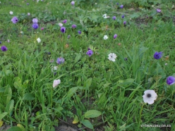 Near Megiddo. Color variations of Crown Anemone (Anemone coronaria) (19)