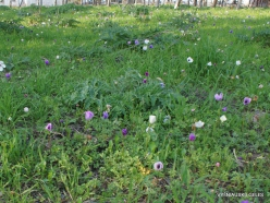 Near Megiddo. Color variations of Crown Anemone (Anemone coronaria) (24)