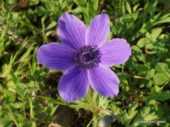 Near Megiddo. Color variations of Crown Anemone (Anemone coronaria) (5)