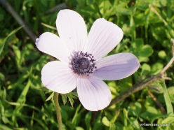 Near Megiddo. Color variations of Crown Anemone (Anemone coronaria) (6)