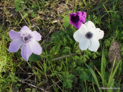Near Megiddo. Color variations of Crown Anemone (Anemone coronaria) (8)