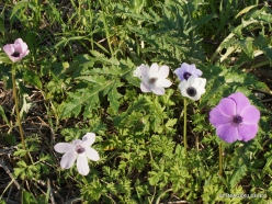 Near Megiddo. Color variations of Crown Anemone (Anemone coronaria) (9)