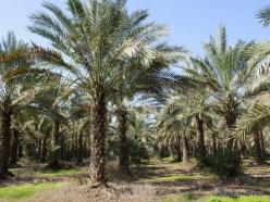 Yardenit. Date palms (Phoenix dactylifera)plantation (4)