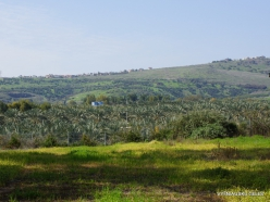 Yardenit. Date palms (Phoenix dactylifera)plantation