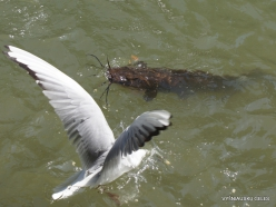 Yardenit. Jordan River. African Catfish (Clarias gariepinus) (3)