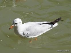 Yardenit. Jordan River. Gulls (2)