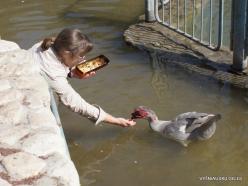 Yardenit. Jordan River. Muscovy duck (Cairina moschata) (2)