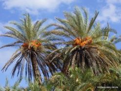 Itanos Beach. Cretan Date Palm (Phoenix theophrasti) (3)