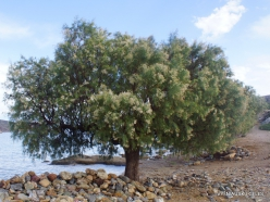 Itanos Beach. Tamarisk (Tamarix sp.)