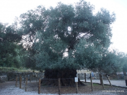 Kavoussi. Azorias ancient Olive tree (Olea europaea). Age more than 3200 years (10)