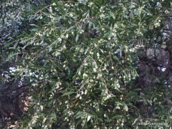 Kavoussi. Azorias ancient Olive tree (Olea europaea). Age more than 3200 years (2)