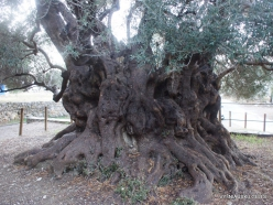 Kavoussi. Azorias ancient Olive tree (Olea europaea). Age more than 3200 years (3)