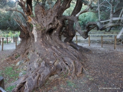 Kavoussi. Azorias ancient Olive tree (Olea europaea). Age more than 3200 years (4)