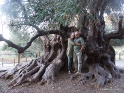 Kavoussi. Azorias ancient Olive tree (Olea europaea). Age more than 3200 years (5)
