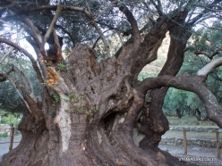Kavoussi. Azorias ancient Olive tree (Olea europaea). Age more than 3200 years (7)