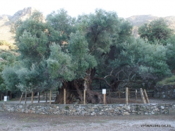 Kavoussi. Azorias ancient Olive tree (Olea europaea). Age more than 3200 years