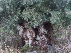 Kavoussi. Other very old Olive tree (Olea europaea)